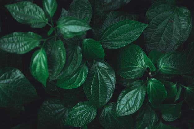 緑の葉のパターンの背景。野生のキンマリーフブッシュ自然ダークグリーントーンの背景色。