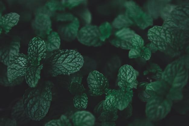 緑の葉のパターンの背景。緑のペパーミントの葉の背景。平置き。自然ダークグリーントーンの背景色。