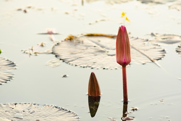 水面に蓮の花のつぼみや睡蓮