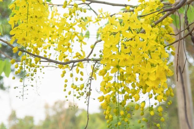 Дерево золотого дождя. кассия свищ