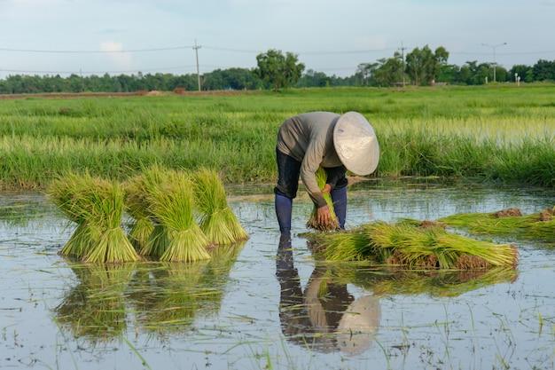 アジアの農民は米の苗を撤回しています。田植えのために田んぼの植え付けを準備する。