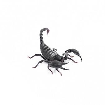 Чёрный скорпион ядовитых животных изолирован на белом фоне