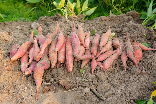 農場から収穫したばかりの地面にサツマイモ