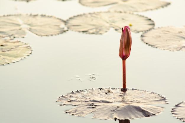 水面に蓮の花のつぼみまたは睡蓮