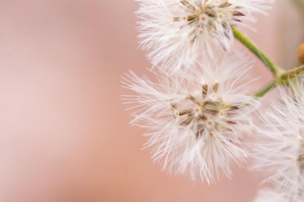 白い小さな鉄草、ベルノニアシネレアの花を閉じる