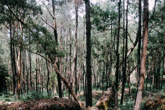 ジョグジャカルタインドネシアの松林