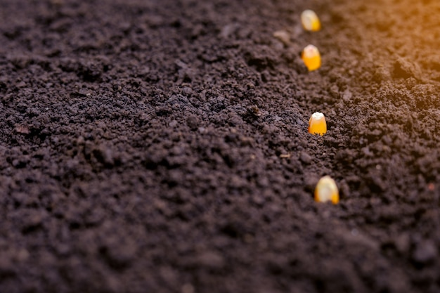 土壌にトウモロコシの種を植える