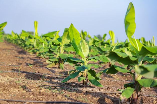 インドの緑のバナナ畑