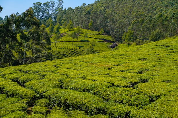インドの茶畑