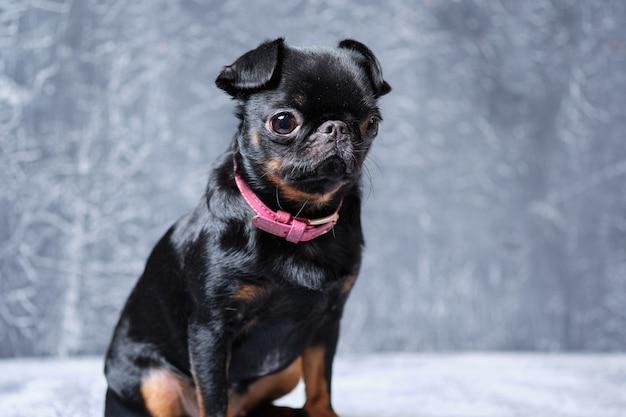 プチブラバンコン犬の肖像画