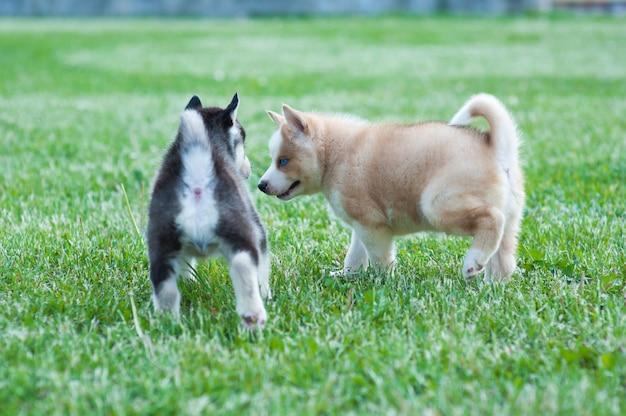 黒いハスキーの子犬と茶色の友人、草の上の犬
