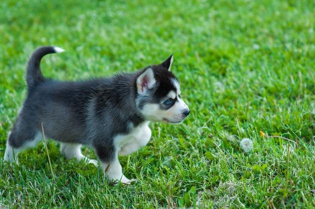 草の中を歩いて黒いハスキーの子犬