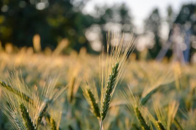 風になびく小穂のある野草、夏の植物。黄金とふわふわの耳、自然の緑の草。夜明けの小山の野草。日光の下で植物。フィールドに野生小麦の小穂