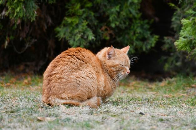 Рыжий кот на траве. красная зеленоглазая кошка отдыхает на зеленой траве