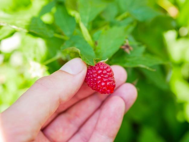 Малина в руке. женская рука собирает ягоды спелой красной малины на фоне зеленой малины. крупный план. здоровая еда и вегетарианство