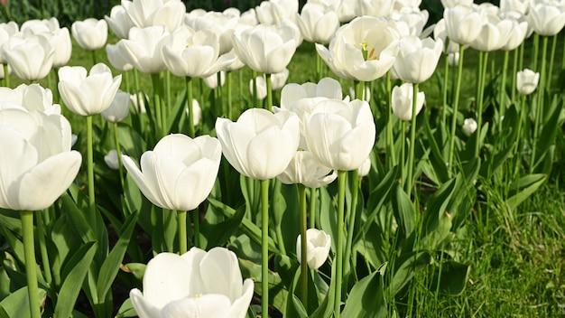 太陽の下で咲く白いチューリップ