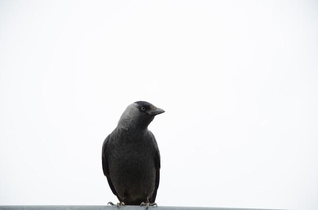 Маленькая ворона на белом фоне смотрит вдаль