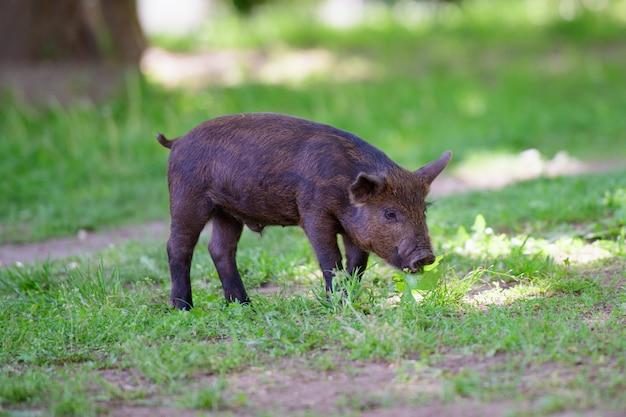 Маленькая темная свинья. милая маленькая черная свинья ходит по луже, ест траву, любит природу, вега. темная свинья