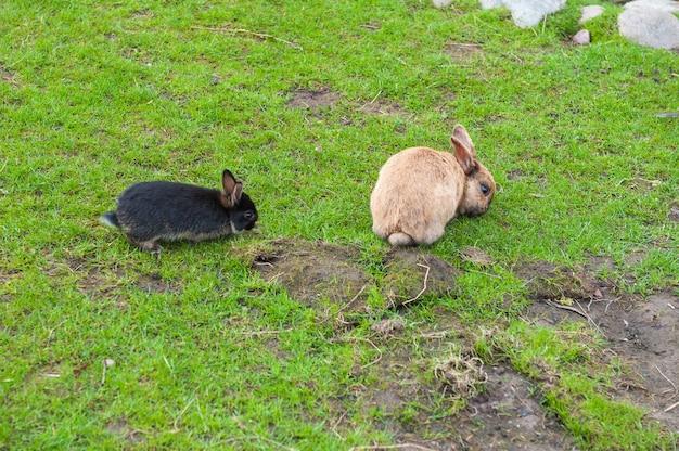 緑の草を食べる黒と茶色のウサギ
