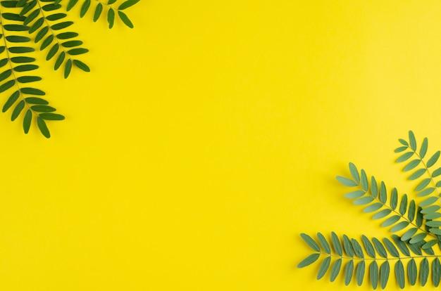 緑の葉、黄色の背景にアカシアの枝構成。