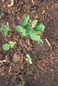 緑豆もやしのフィールドでの芽をクローズアップ