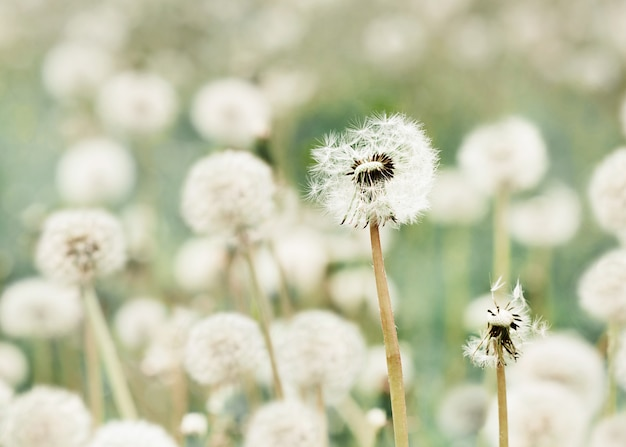 草原の夏の日の風景のタンポポ