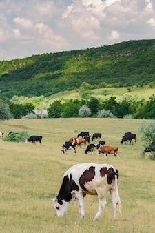 牧草地で放牧牛の群れ