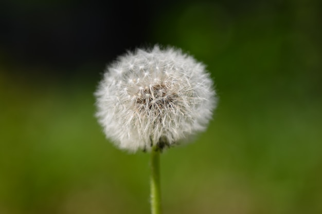 Одуванчик с семенами