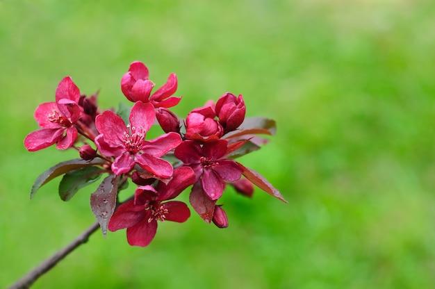 Бургундские цветы яблони