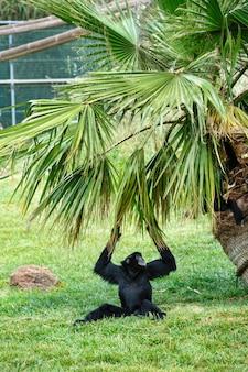 動物園でブラックテナガザル