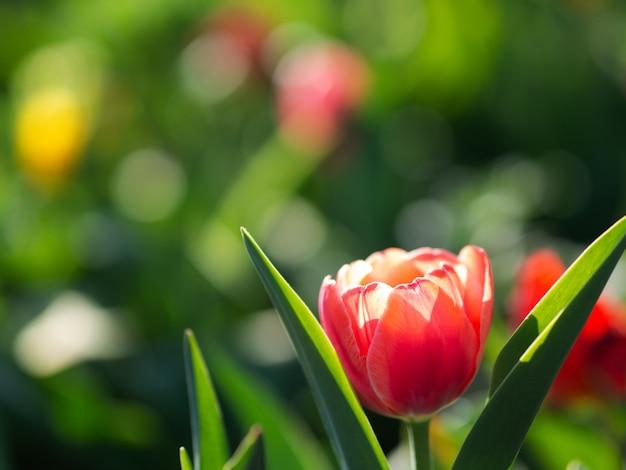 Красивые тюльпаны цветут в саду. весенние цветы с копией пространства