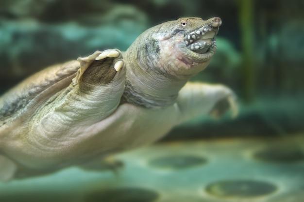 Китайская черепаха плавает в аквариуме