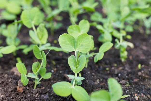 Молодые растения гороха в начале весны сад.