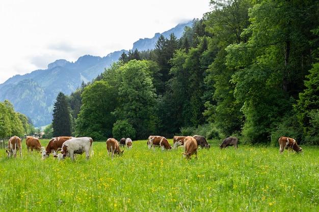 緑の野原に牛