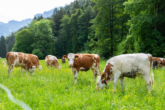 Коровы на зеленом поле