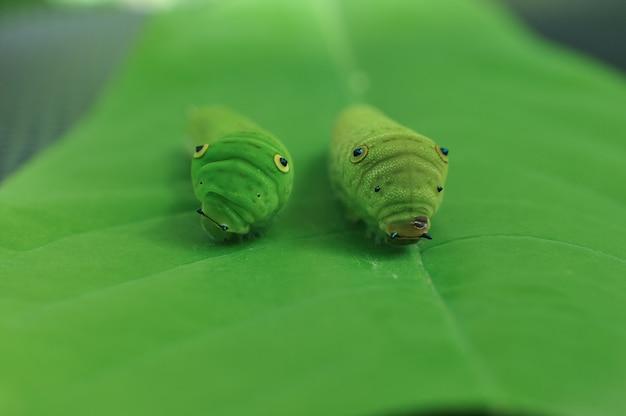 Гусеница на зеленом листе