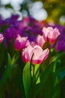 装飾、美しさ、はがき、農業の概念設計のためのチューリップの花
