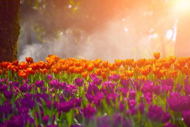 タイのチェンライの庭園にある色とりどりのチューリップ。