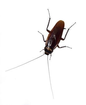 ゴキブリは完全に別の白い背景の上にあります。