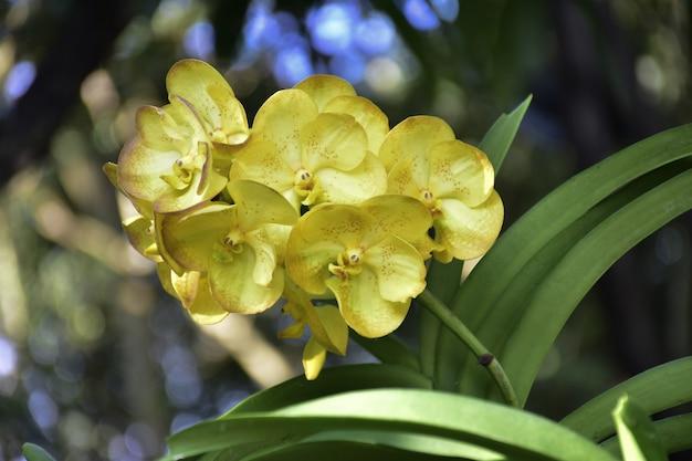 赤い斑点のある美しい黄色の蘭の花をクローズアップ