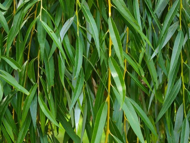 Ивовой ветви узор с зелеными листьями.