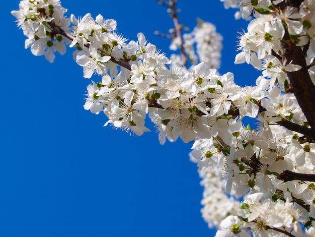 Цветущее сливовое дерево в шпинате.