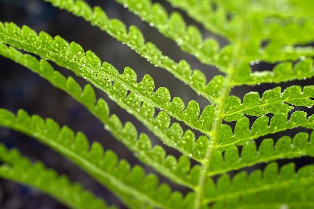 シダ。緑のシダの花びらのマクロ写真。シダ植物が開花しました。閉じる。上面図。