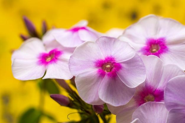 花フロックス。ピンクの花と緑の葉