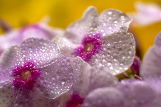 フロックスのピンクの花。水滴のある花