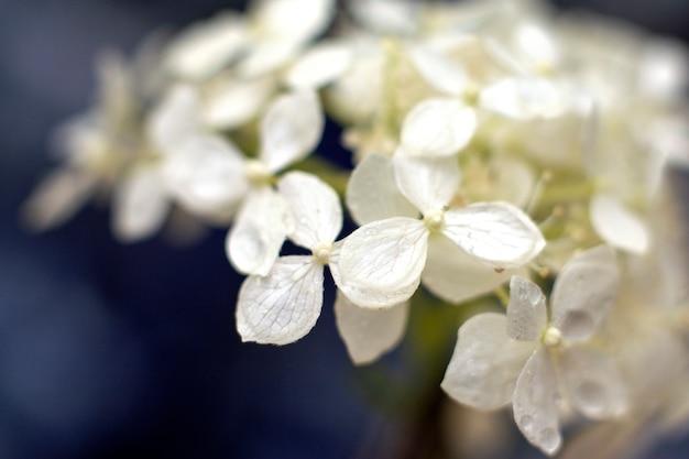 新鮮なジャスミンの花。閉じる。