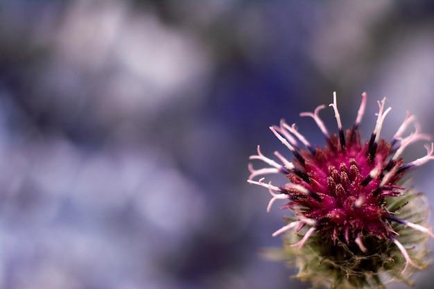 ゴボウのとげのある紫の花のクローズアップ。咲く薬用植物ごぼう。コピースペース