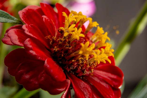 赤い花のクローズアップ。