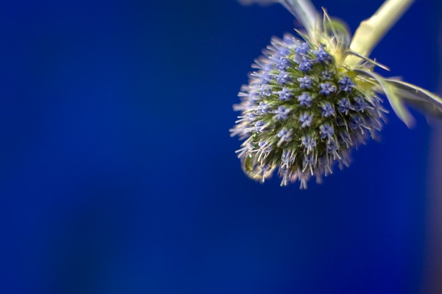 Синий поток чертополоха в летний день на темно-синем