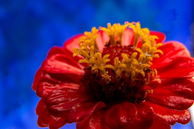赤い花のマクロ写真。閉じる。 。